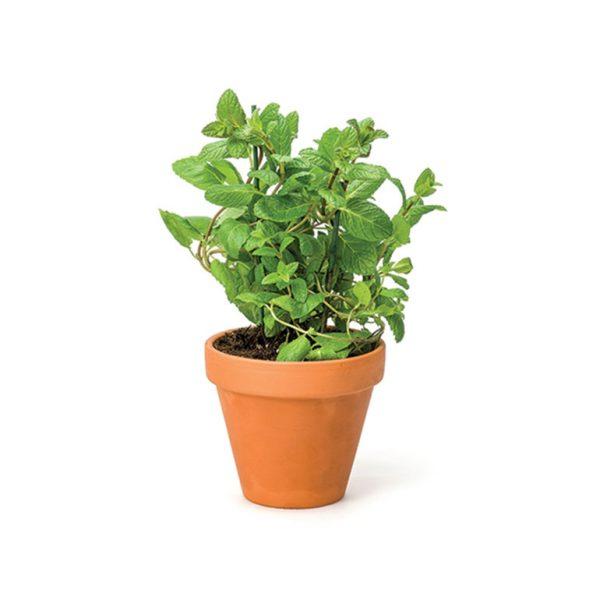 Herb Living Pot Mint