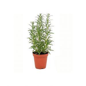 Herb Living Pot Rosemary