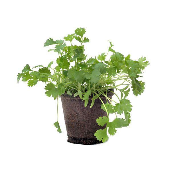 Herb Pot Living Coriander