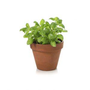 Herb Living Pot Basil