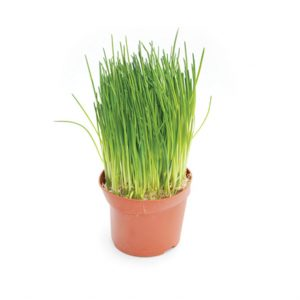 Herb Living Pot Chives